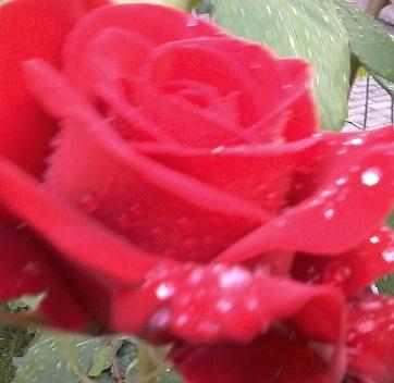 rosa rugiada